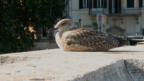 Cachorro de la gaviota en el puente de Castel Sant Angelo, Roma almacen de metraje de vídeo