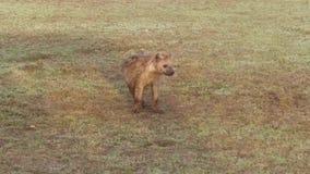 Cachorro de la hiena en sabana en África metrajes