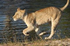 Cachorro de la leona runnning por el lago Foto de archivo libre de regalías