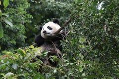 Cachorro de la panda en Chengdu, China imagen de archivo libre de regalías