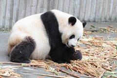 Cachorro de la panda que come el bambú Fotos de archivo
