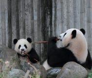 Cachorro de la panda que come el bambú Imagen de archivo libre de regalías