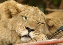 Cachorro de león fotos de archivo libres de regalías