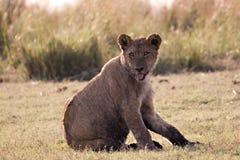 Cachorro de león Fotografía de archivo libre de regalías