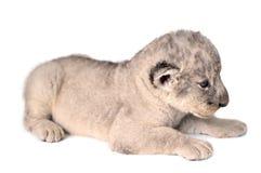 Cachorro de león Imagen de archivo libre de regalías
