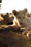 Cachorro de león blanco que come la carne Imagen de archivo