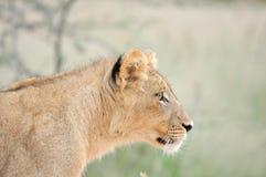 Cachorro de león en el Kalahari Fotos de archivo libres de regalías