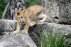 Cachorro de león en roca Imagen de archivo libre de regalías