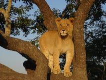 Cachorro de león en un árbol foto de archivo libre de regalías