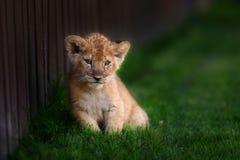 Cachorro de león joven en el salvaje fotografía de archivo libre de regalías