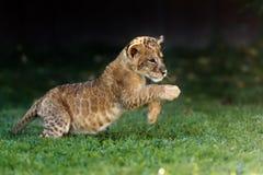 Cachorro de león joven en el salvaje fotos de archivo