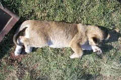 Cachorro de león joven que toma una siesta fotografía de archivo libre de regalías
