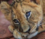 Cachorro de león lindo imagen de archivo libre de regalías