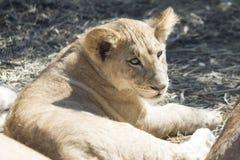 Cachorro de león lindo Foto de archivo