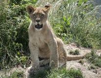 Cachorro de león lindo Foto de archivo libre de regalías