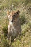 Cachorro de león lindo Imagenes de archivo