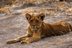 Cachorro de león magnífico manchado en el desierto seco Imágenes de archivo libres de regalías