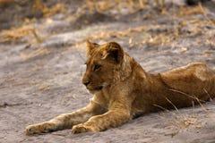Cachorro de león magnífico manchado en el desierto seco Fotos de archivo