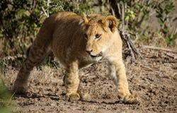 Cachorro de león que camina a través del arbusto Imágenes de archivo libres de regalías
