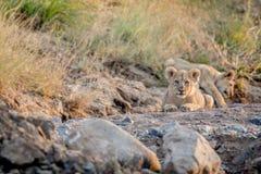 Cachorro de león que pone en un cauce del río rocoso Fotos de archivo libres de regalías