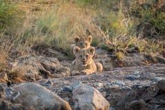 Cachorro de león que pone en un cauce del río rocoso Fotografía de archivo libre de regalías