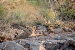Cachorro de león que pone en un cauce del río rocoso Imagen de archivo