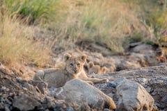 Cachorro de león que pone en un cauce del río rocoso Imagenes de archivo