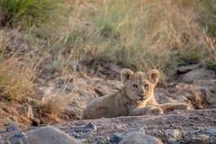 Cachorro de león que pone en un cauce del río seco Fotografía de archivo