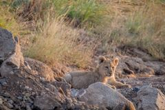 Cachorro de león que pone en un cauce del río seco Fotos de archivo