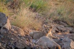 Cachorro de león que pone en un cauce del río seco Imágenes de archivo libres de regalías