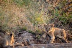 Cachorro de león que pone en un cauce del río seco Imagen de archivo