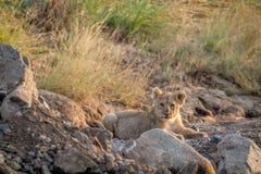 Cachorro de león que pone en un cauce del río seco Imagen de archivo libre de regalías