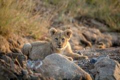 Cachorro de león que pone en un cauce del río seco Foto de archivo libre de regalías