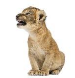 Cachorro de león que ruge, el sentarse, aislado Imagen de archivo