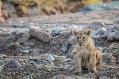 Cachorro de león que se sienta en un cauce del río rocoso Imagenes de archivo