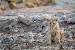 Cachorro de león que se sienta en un cauce del río rocoso Imagen de archivo libre de regalías