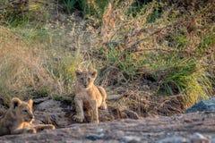 Cachorro de león que se sienta en un cauce del río rocoso Fotografía de archivo
