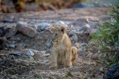 Cachorro de león que se sienta en un cauce del río seco Foto de archivo