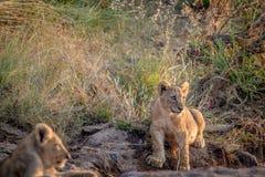 Cachorro de león que se sienta en un cauce del río seco Foto de archivo libre de regalías