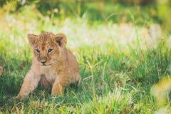 Cachorro de león recién nacido que intenta levantarse por primera vez Safari de África en Masai Mara fotos de archivo
