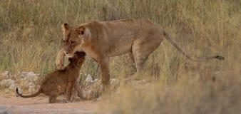 Cachorro de león y leona Foto de archivo libre de regalías