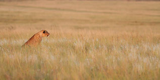 Cachorro de león Imágenes de archivo libres de regalías