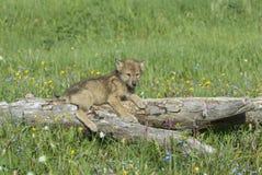Cachorro de lobo Imagenes de archivo