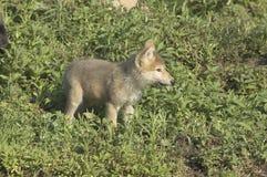 Cachorro de lobo gris Imágenes de archivo libres de regalías