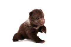 Cachorro de oso de Brown (arctos del Ursus), en blanco fotografía de archivo libre de regalías