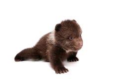 Cachorro de oso de Brown (arctos del Ursus), en blanco foto de archivo