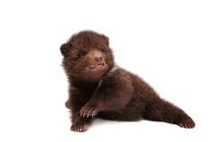 Cachorro de oso de Brown (arctos del Ursus), en blanco imágenes de archivo libres de regalías