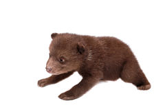 Cachorro de oso de Brown (arctos del Ursus), en blanco foto de archivo libre de regalías