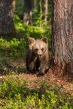 Cachorro de oso de Brown en bosque finlandés Imagenes de archivo