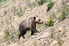 Cachorro de oso del grisáceo (horribilis de los agentes del Urus) imagenes de archivo